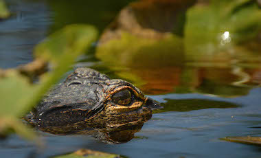 Alligator Eye in the Water - Okefenokee Swamp