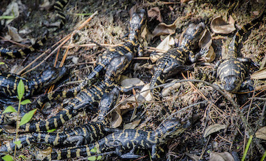 Baby Alligators - Okefenokee Swamp