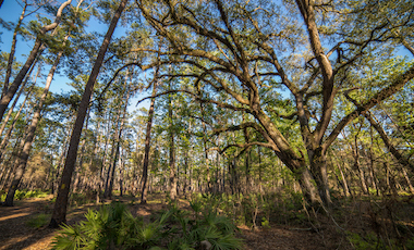 Billy's Island Trees - Stephen C. Foster State Park - Okefenokee Swamp