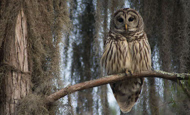 Barred Owl in Tree - Okefenokee Swamp