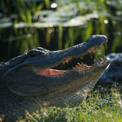 Alligator - Stephen C. Foster State Park - Okefenokee Swamp