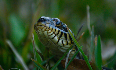 Banded Water Snake - Okefenokee Swamp