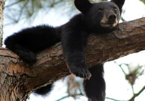 Black Bear Cub - Stephen C. Foster State Park - Okefenokee Swamp